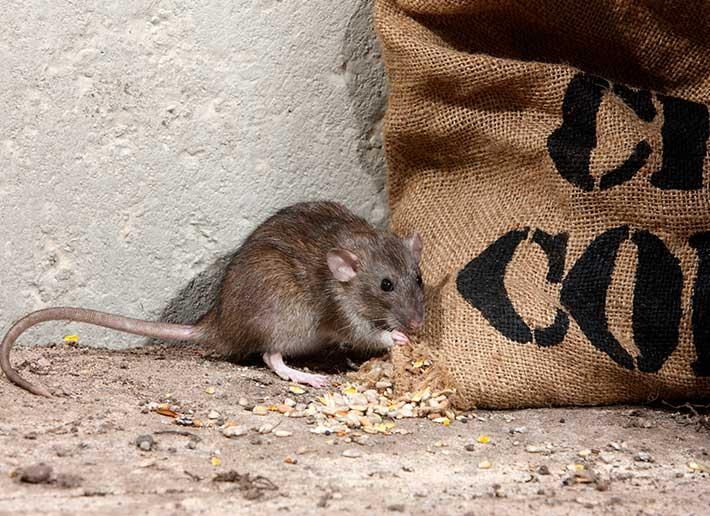 Eliminacion de ratones
