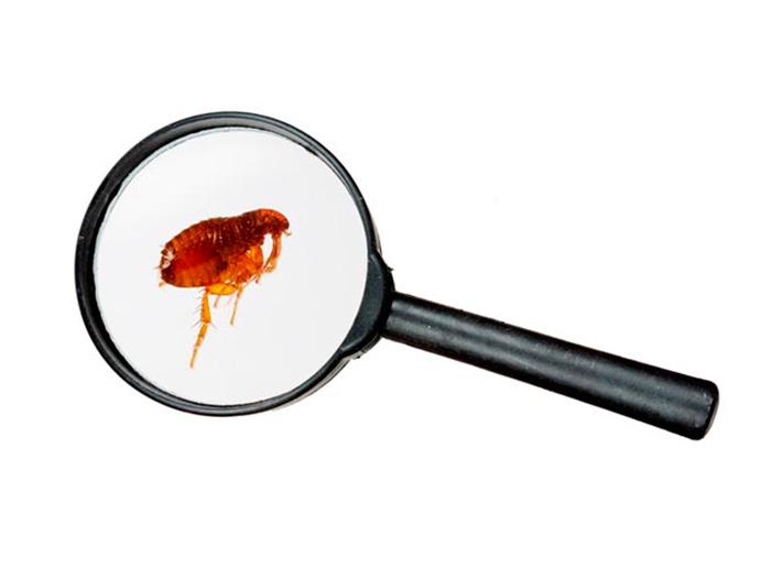 Tratamiento contra pulgas